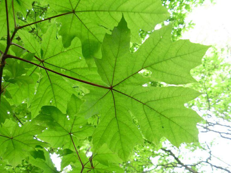 http://0.tqn.com/d/treesandshrubs/1/0/k/D/-/-/Big-Leaf-Maple-Acer-macrophyllum-Flickrbrewbooks.jpg (14/11/2013)