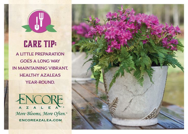 17 best images about care tips on pinterest gardens winter storm and the plant - Care azaleas keep years ...