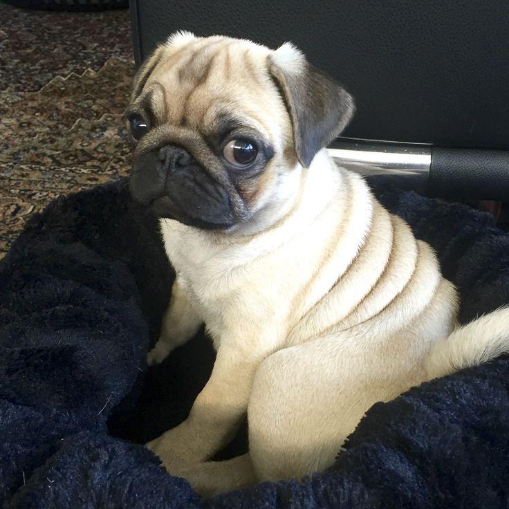 Social Pug Profile | Fien + Rosie http://www.thepugdiary.com/social-pug-profile-fien-rosie/
