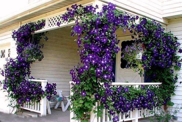 Clematis via Midnight Musings