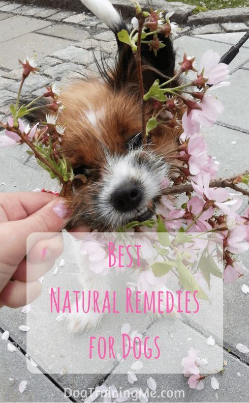 The best natural remedies for dogs to help prevent and treat your dog's health conditions. We have some home remedies for your dog first aid kit and prevention for issues like fleas, ticks, and parasites. Read our article for more.