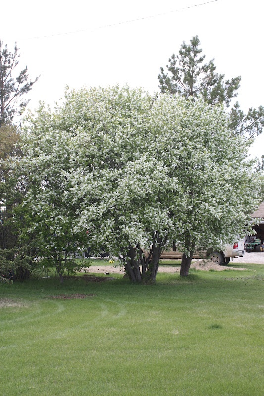 17 best images about trees flowering on pinterest trees for Small hardy trees
