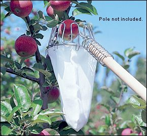 Fruit Picker - Gardening.  Now I'm glad I bought standard fruit trees.  Problem solved.  Standards are so much prettier than dwarfs