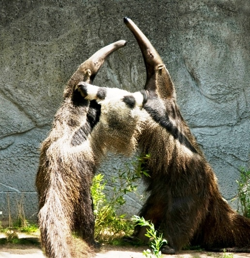 """""""Let's hug it out!"""" Giant anteaters at the Detroit Zoo put ..."""