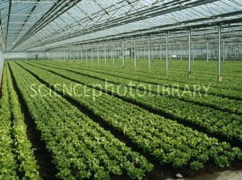 Large Commercial Covered Greenhouse Vegetable Garden | Vegetables  Cultivated In A Glasshouse   Stock Image E772