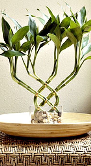 How to Grow Lucky Bamboo Plants