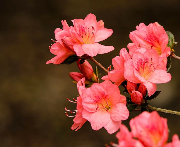 Lovely pink azaleas, called Coral Bell.  A post on English words that start with D.