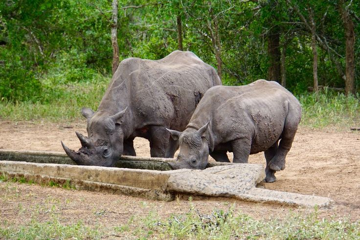 The Acrux Expedition » Africa with fresh eyes. Black rhinos in Mkhaya Game Reserve, Swaziland.