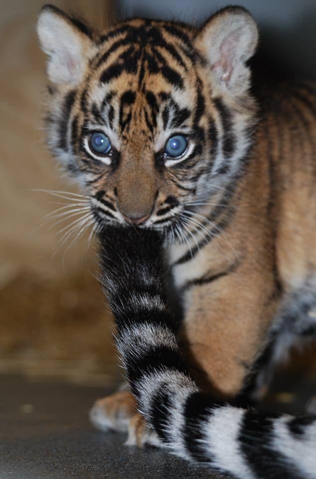 Sumatran Tiger Cub born in 2014 at Topeka Zoo, Kansas | Photo credit: Topeka Zoo