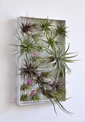 PLANTAS, FLORES Y VELAS ......Para decorar, para disfrutar !!: PLANTAS AÉREAS. TILLANDSIAS.CLAVEL DEL AIRE.