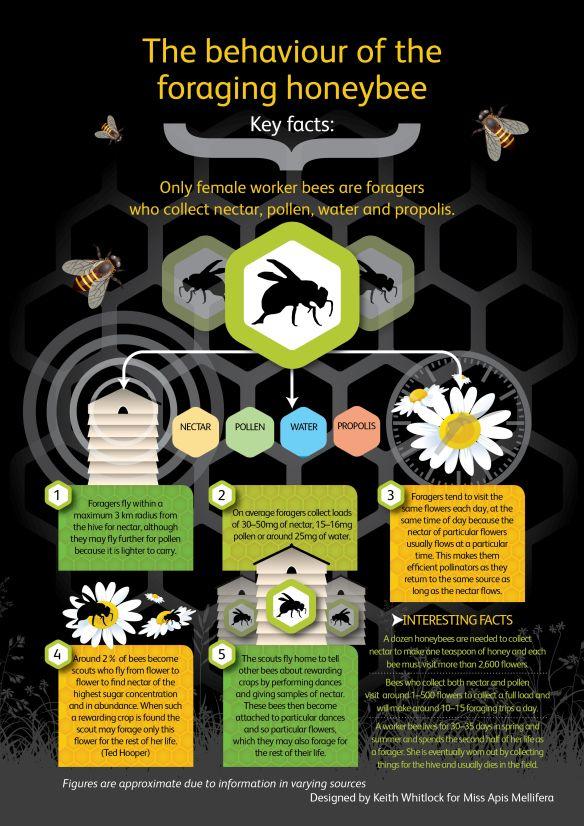 Understanding the behaviour of the foraging #honeybee #infographic