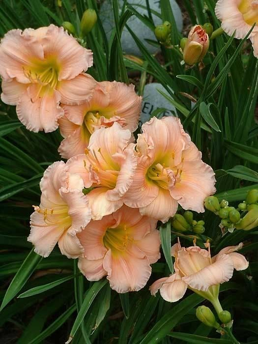 57 Best Images About Daylilies On Pinterest Sun Plum