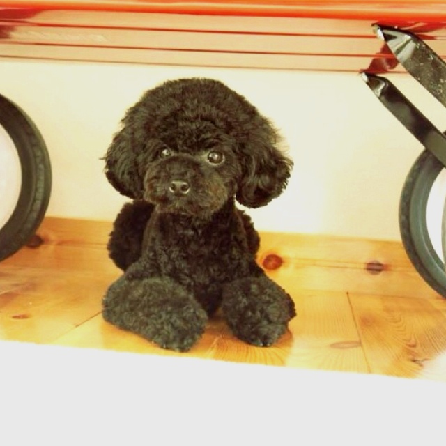 Toy poodle... from @ancoron on instagram