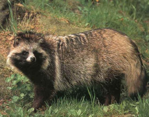 Racoon Dog    (yes it really exists!)