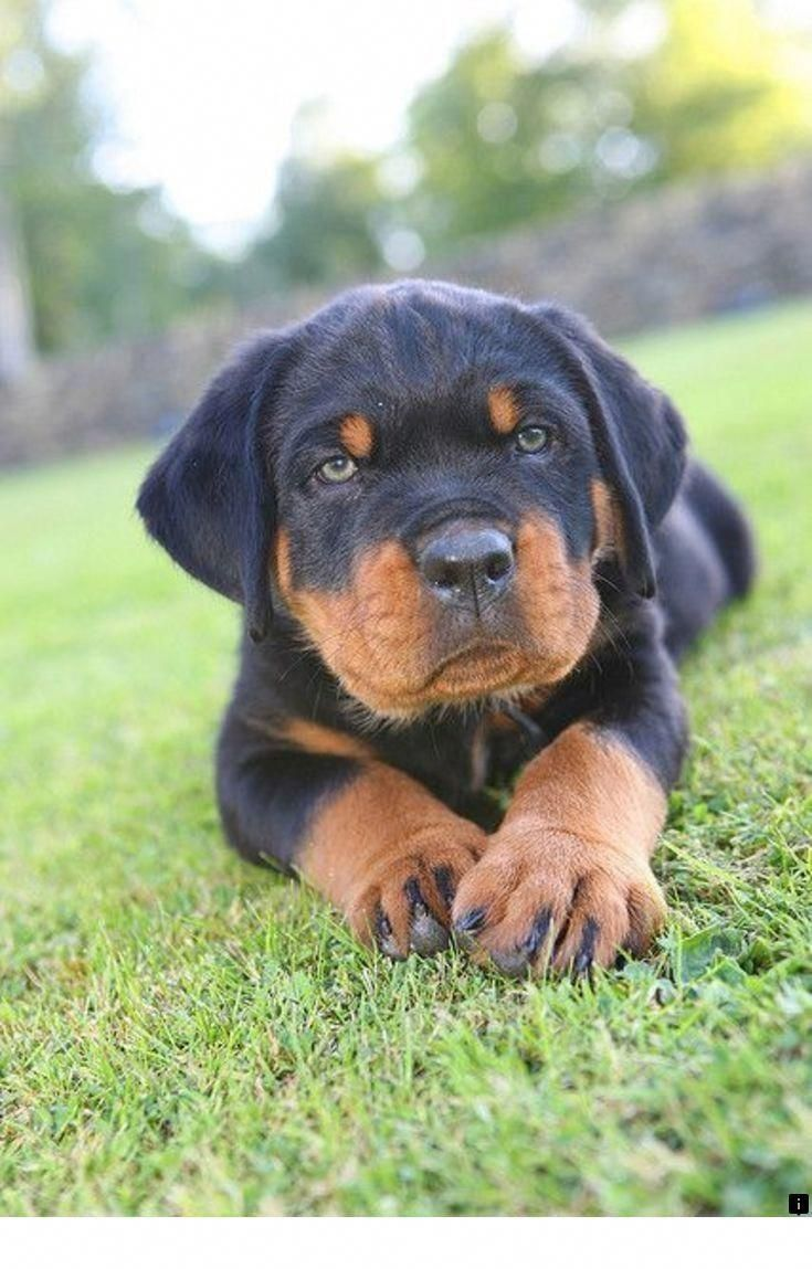 Check Out Our Internet Site For Even More Details On Rottweilers It Is Actually An Outstanding Place To Learn More Rottweiler Puppies Beautiful Dogs Puppies
