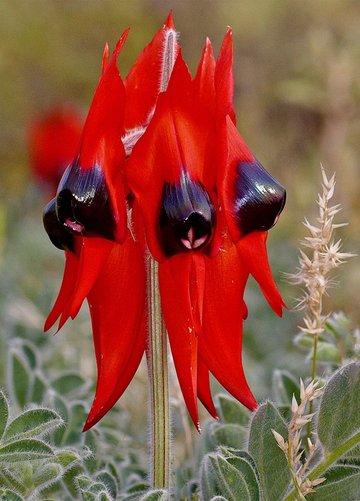 Sturt Desert Pea... Letting go, triggers healthy grieving, releases deep held grief and sadness.