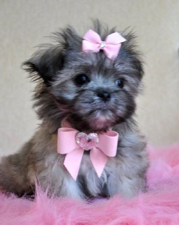 teacup peekapoo puppies for sale in texas Zoe Fans Blog