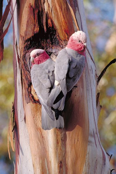 Galahs in Canberra, Australia #parrots