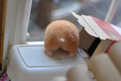 Haha - Cute hamster butt :)
