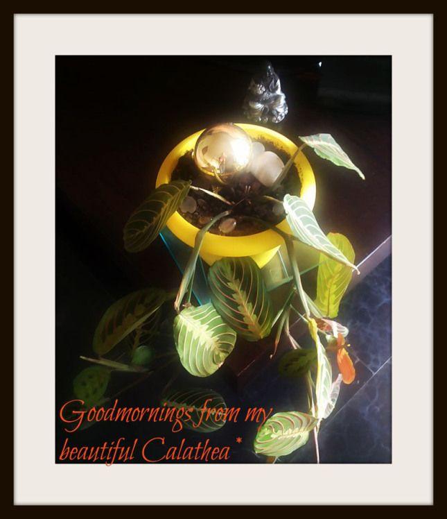 beautiful calathea