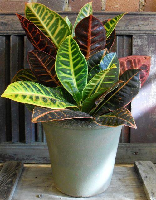 Croton plant medium care tropical plants pinterest for Low maintenance tropical plants