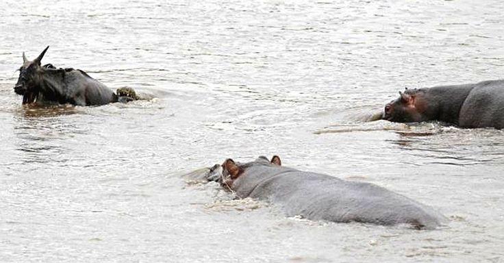 """Um grupo de hipopótamos salvou um gnu do ataque de um crocodilo, no parque Masai Maran, no Quênia. O antílope foi mordido por um crocodilo e aos poucos ia afundando na água, quando um hipopótamo o viu e foi salvá-lo. Outros hipos se juntaram a ele e escoltaram o gnu até a beira do rio. Ele ficou ali se recuperando por um tempo, com um hipo bem ao seu lado servindo de """"guarda costas"""". Segundo o fotógrafo Vadim Onishchenko, o animal depois foi para terra firme e parecia não estar machucado…"""