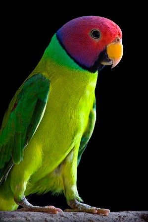Pretty Plum headed parakeet. I looked it up and they really have magnificent brilliant coloring.
