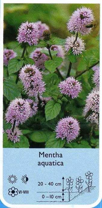 Mentha aqatica (mięta nadwodna) - Rośliny wodne, Lilie wodne | Sklep