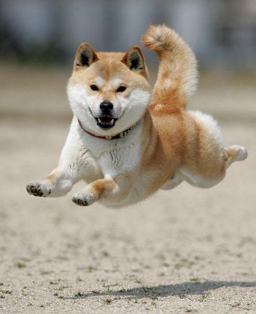 Running shiba