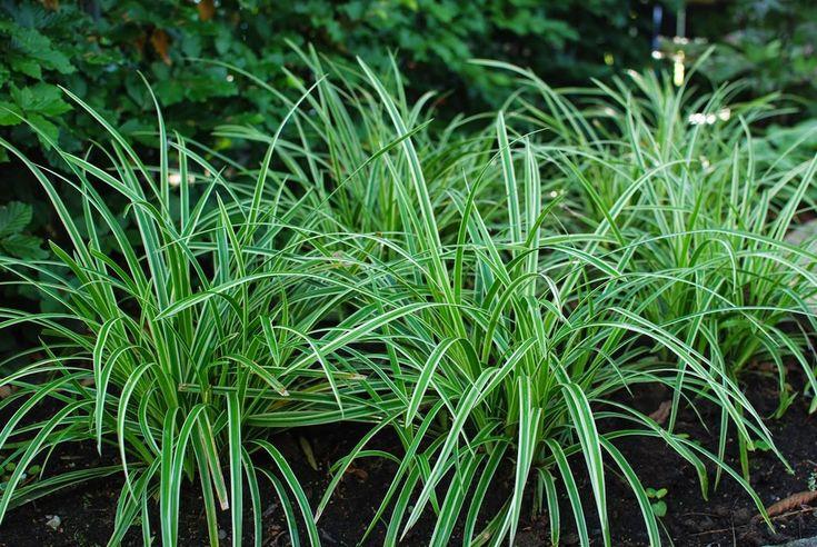 """I våras planterade jag bland annat japansk starr, carex morrowii 'Ice  Dance' i min """"körsbärslund"""". De verkar trivas utmärkt och har redan börjat  sprida sig med utlöpare.  Växten trivs i sol till halvskugga och vill gärna stå lite fuktigt. Sprider  sig villigt och blir ca 30-40 cm hö"""