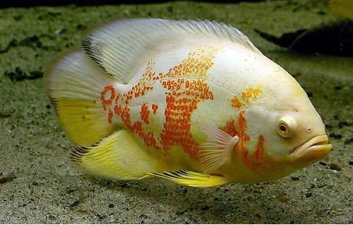 The tiger albino oscar fish like having a pit bull in for Pictures of oscar fish