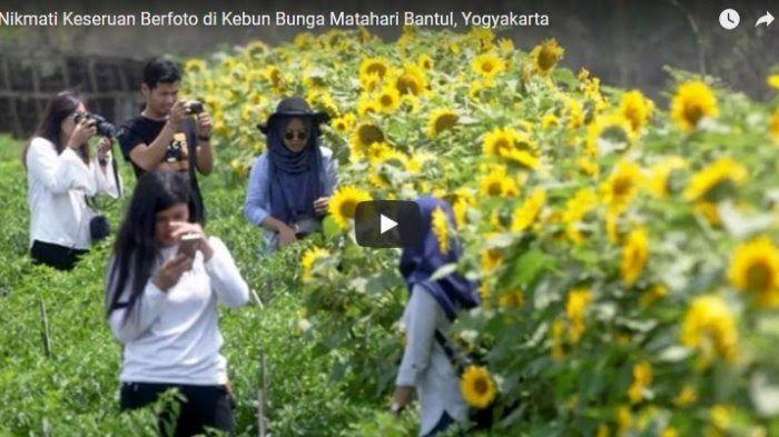 Wisata Kebun Bunga Matahari Jogja