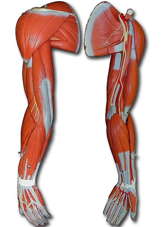 Unlabeled Muscular System Models