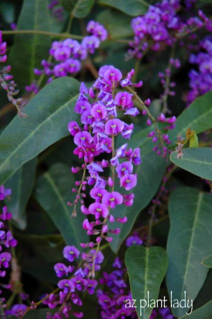 Purple Lilac Vine (Hardenbergia violacea) grows well in zone 9 and blooms all witner and has wonderful grown coverage, or goes up on a trellis. This will be in my garden!  I planted this today!