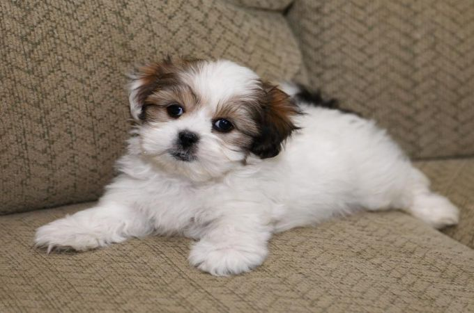 Cute Shih Tzu Maltese mix (Mal-Shi)