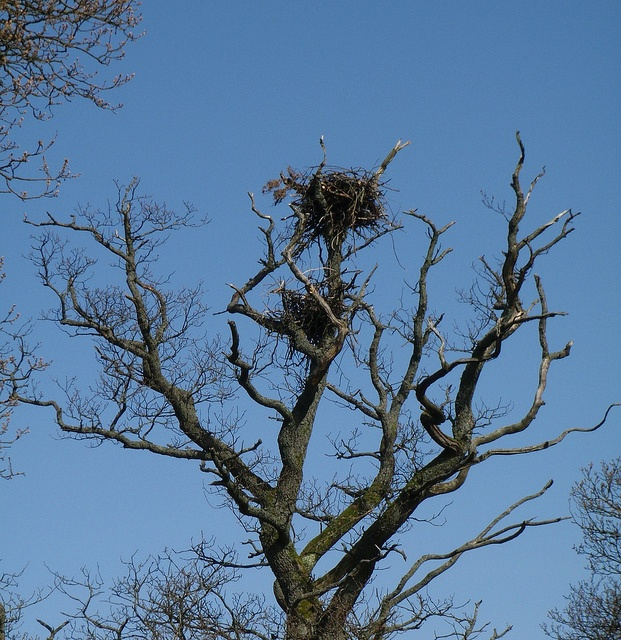 The osprey nest at Bassenthwaite Lake.  Two chicks, just about fledging.