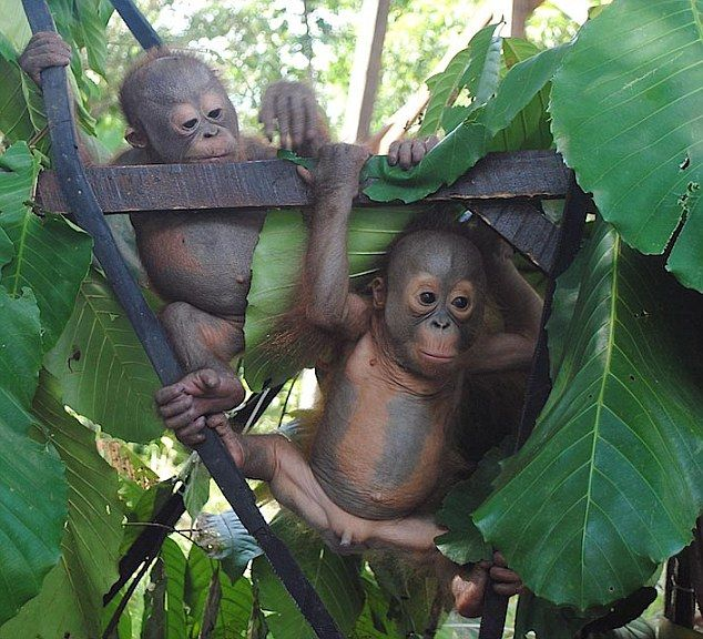 Release: International Animal Rescue's chief executive said: 'They will learn from each other how to behave in the forest and gradually shed their dependence on their human babysitters'.