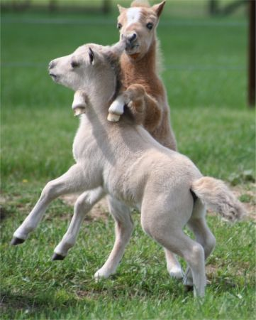 Miniature horse foals at play