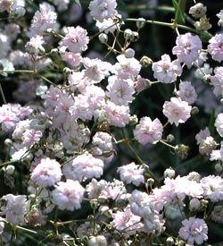 Gypsophila Hybride 'Rosenschleier' - Schleierkraut günstig online kaufen - MEIN SCHÖNER GARTEN