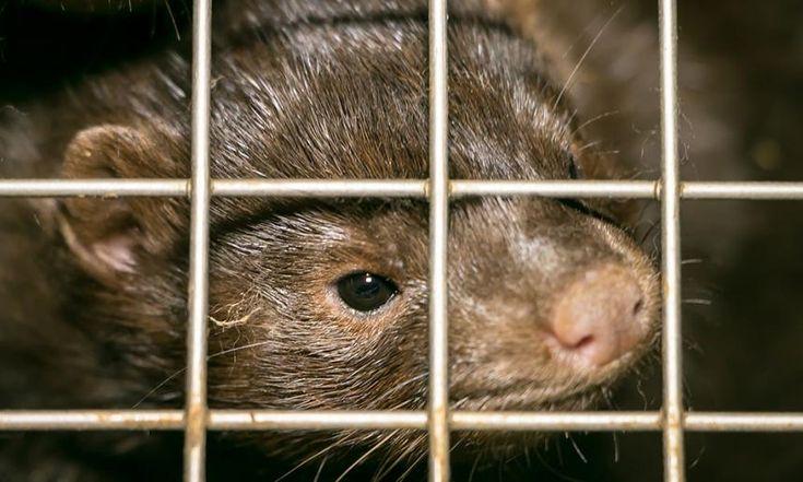 Hoelang laat minister Weyts de nertsen nog stikken? | Animal Rights