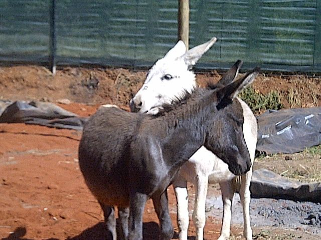 Our Miniature donkeys Janu and Gypsey