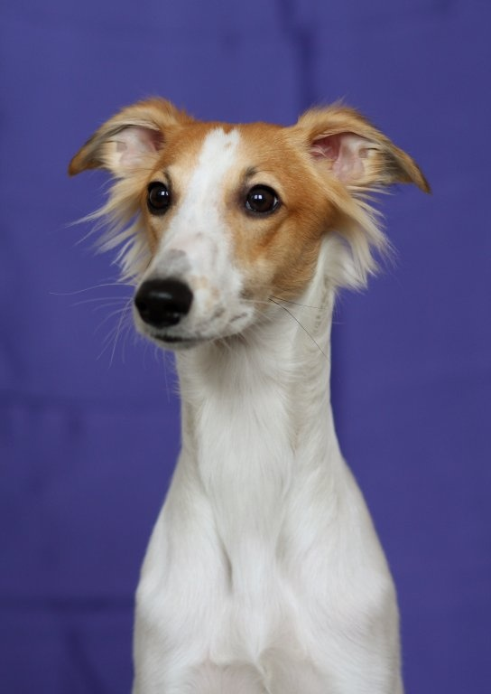 long-haired whippets