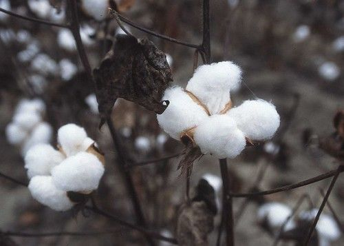 How To Grow Cotton In Your Backyard