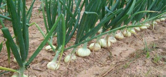 25 best ideas about culture des oignons sur pinterest - Quand semer les oignons ...