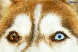 """Képtalálat a következőre: """"Szibériai husky"""""""