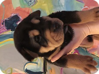 Atlanta, GA - Chow Chow/Rottweiler Mix. Meet Peanut a Puppy for Adoption.