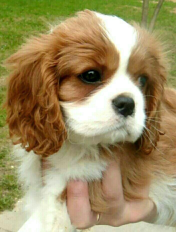 Beautiful Cavalier baby