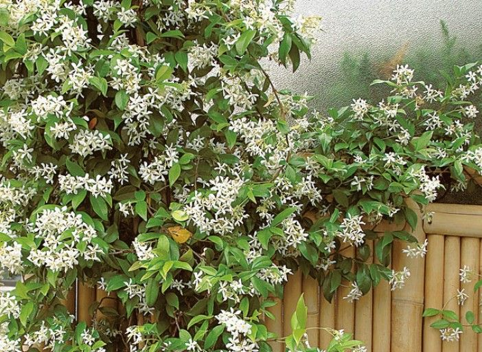 Best 25 trachelospermum jasminoides ideas on pinterest climbing flowers chimney pot planter - Jasmin etoile en pot ...