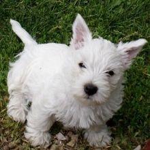 California Westie Puppies - Westie Puppies for Sale in California