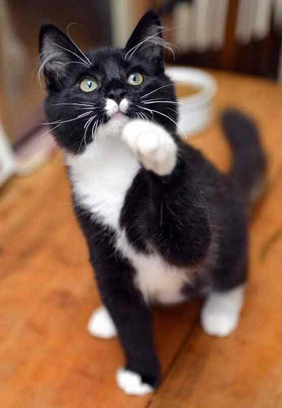 Tuxedo Cats